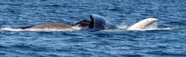 Grabbing a mouthful! see the baleen.