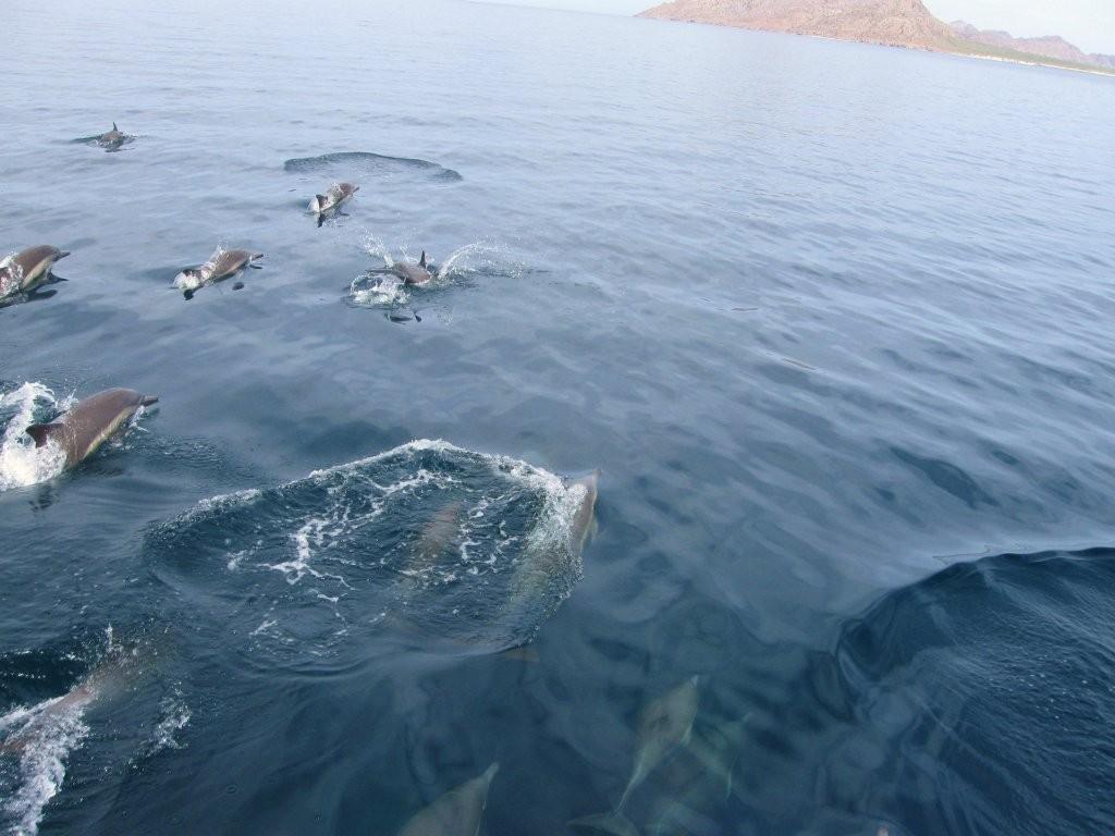 dolphins-race-to-isla-carmen