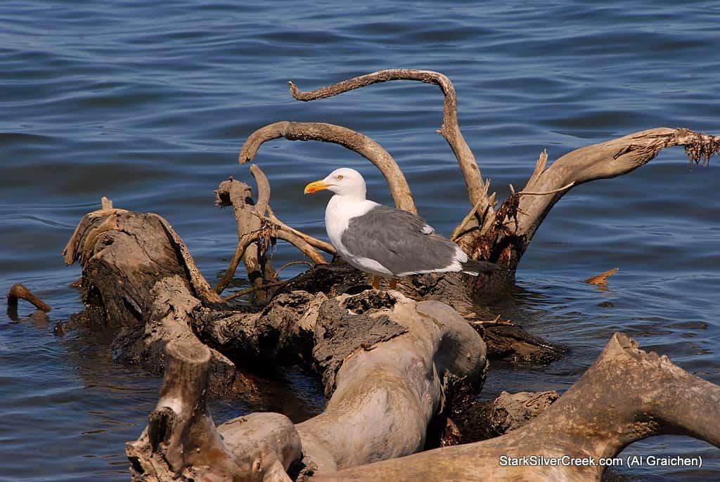 bird-sea-cortez-al-graichen