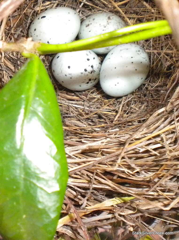 four-bird-eggs-in-nest