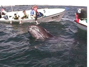 Mother Gray Whale Greets Visitors