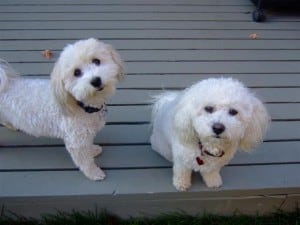 Friends of the family: Baxter, Havanese, on left. Sophie, Bichon frise on right.