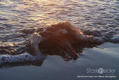 bathing-star