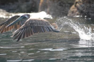 coronado-pelicano