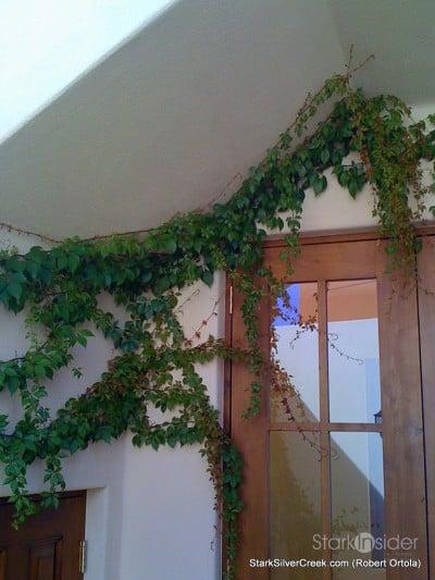 lot-av25-vines-overgrown