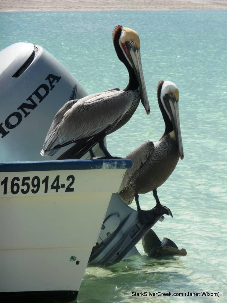 2010-Loreto-Calendar-Submission-Pelicans-Janet-Wixom