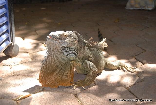 Loreto Lizard
