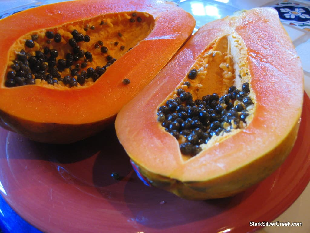 Blue-Lizards-Papaya-Loreto-BCS-1