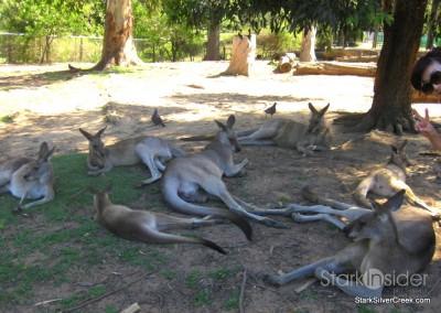 lone-pine-koala-sanctuary-australia-brisbane-11