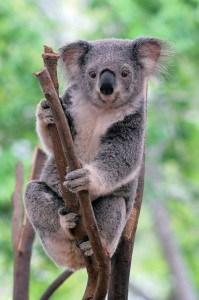 young koala bear at Lone Pine Koala Sanctuary Australia