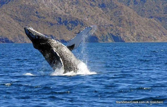 Whale happiness in the Sea of Cortez