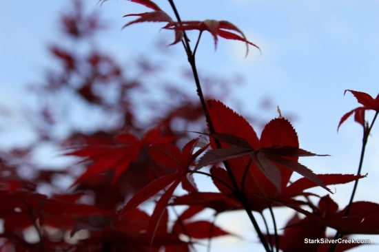Japanese Maple, Spring in San Jose
