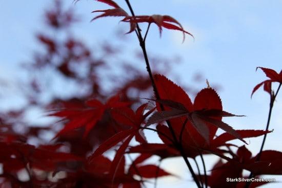 Japanese Maple, Spring in San Jose