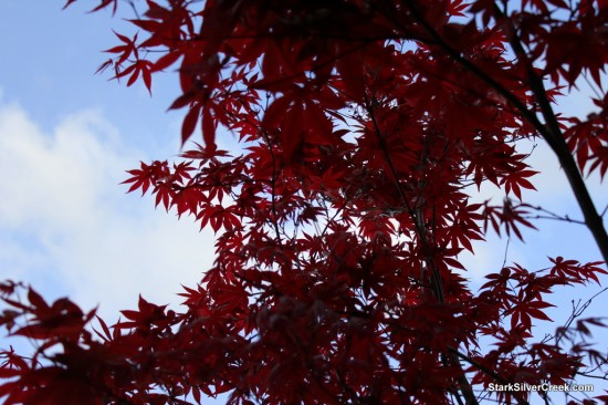 Japanese Maple in San Jose: Summer is Coming!
