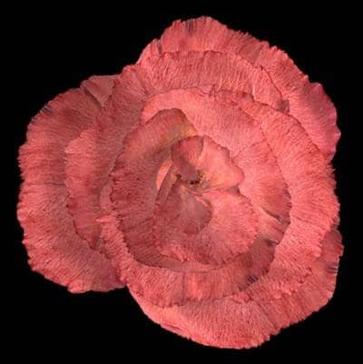 Andrea Ackerman Rose Breathing, 2003 3D Computer animation, stereo sound, projector. 34-second continuous loop Dimensions variable