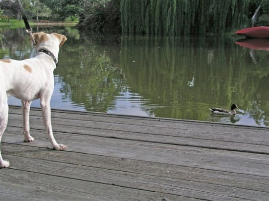 Senor Cortez meets the duck, and geese too