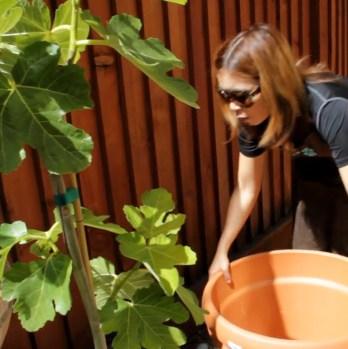 Planting a Fig Tree