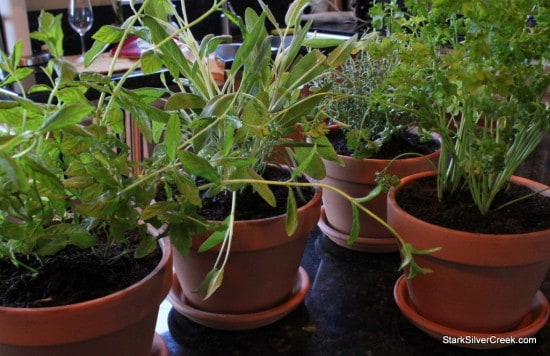 Four of the herbs which are for the window sill garden are planted.