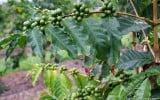 Coffee-Kona-Hawaii-Greenwell-Farms-1