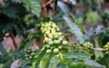 Coffee Kona Hawaii Greenwell Farms