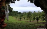 Coffee-Kona-Hawaii-Greenwell-Farms-2