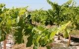 Concannon Vineyards.