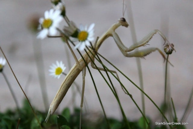 Mantis, San Jose - Mantodea or mantises is an order of insects