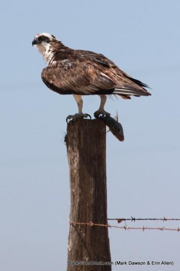 Osprey in Loreto
