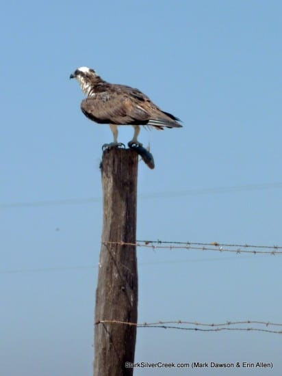 Osprey in Loreto