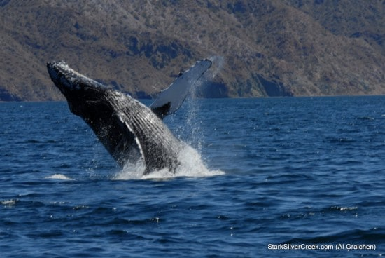Whale Tail spotted in Sea of Cortez