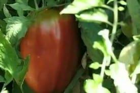 Taste Tomato Bay Area