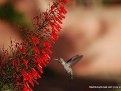 Loreto Hummingbird
