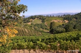 Mount Veeder vineyards pre-harvest