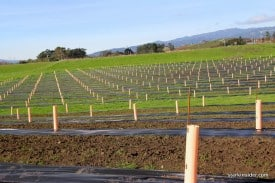 A truffle orchard in Napa, more lucrative than Chardonnay?