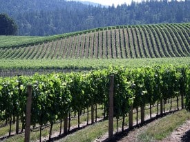 Anderson Valley vines