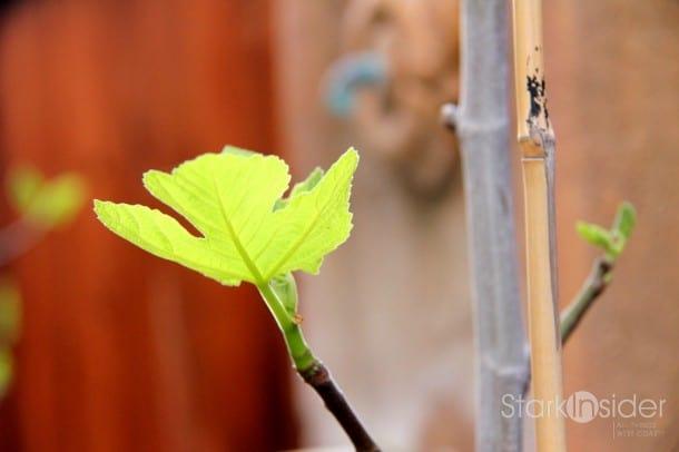 Fig Tree awakens.
