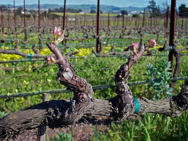 Carneros in Napa: A great shot by John Corcoran.