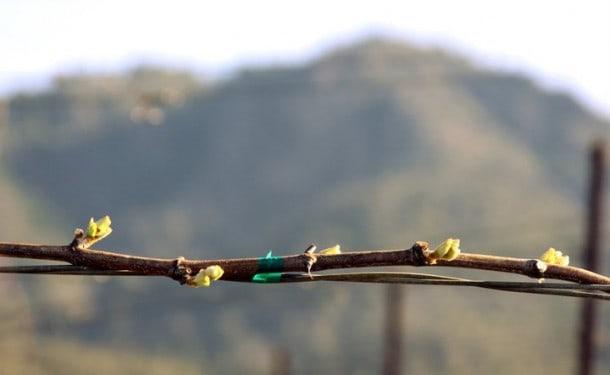 St. Francis Winery (Sonoma): Chardonnay bud break at the estate Wild Oak Vineyard in Sonoma Valley. ~ 4.4.2011