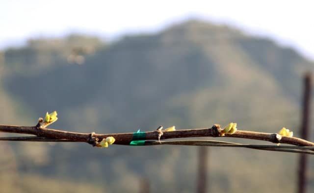 St. Francis Winery (Sonoma): Chardonnay bud break at the estate Wild Oak Vineyard in Sonoma Valley. ~ 4.4.2011