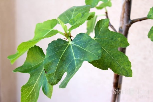 Edible Garden: Fig Tree