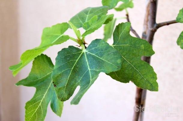 Edible Garden: Fig Tree