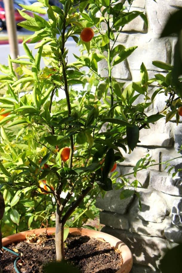 my dwarf orange tree