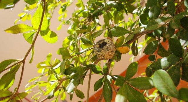 Hummingbird-Nest-Loreto-Baja