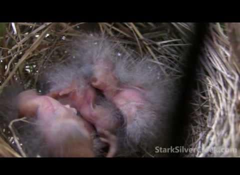 Video thumbnail for youtube video Hummingbird Nest with Eggs (in Photos) | Stark Insider