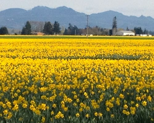 La Conner, Washington - Daffodils