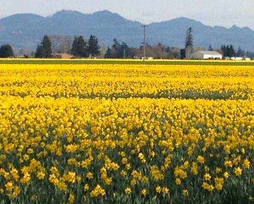 La Conner, Washington - Daffodils