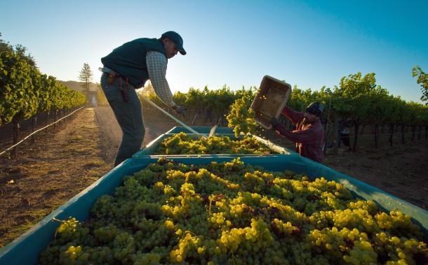 Harvest in Sonoma, California.