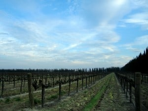 Vineyards at Bronco Wine Company where, as The Huffington Post tells us, animal blood is turned into wine.
