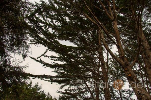 Pines at Pebble Beach